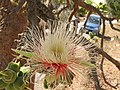 Careya Arborea013.jpg
