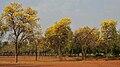 Caribbean Trumpet Tree (Tabebuia aurea) in Hyderabad W IMG 7091.jpg
