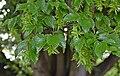 Carpinus betulus in Christchurch Botanic Gardens 01.jpg