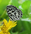 Castalius rosimon - Common Pierrot 34.jpg