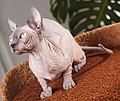 Cat Sphynx. img 001.jpg