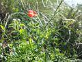 Caucalis platycarpos subsp. platycarpos sl2.jpg