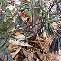 Caulophyllum giganteum SCA-01295.jpg