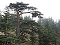 Cedar of Lebanon (Cedar of God), Lebanon.jpg