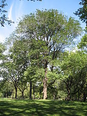 a very large tree in Central Park planted in honour of Joyce Kilmer