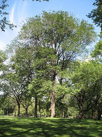 Trees (poem) - Image: Central Park Kilmer tree from south