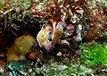 Ceratosoma amoenum pair - Poor Knights Islands.jpg