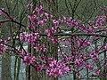 Cercis canadensis - Eastern Redbud 2.jpg