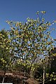 Cercis canadensis Forest Pansy 11zz.jpg