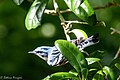 Cerulean Warbler (male) Anahuac NWR-Jackson Prairie Woodlot TX 2018-04-24 14-51-07-2 (41157373925).jpg