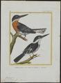 Ceryle americana - 1700-1880 - Print - Iconographia Zoologica - Special Collections University of Amsterdam - UBA01 IZ16800275.tif