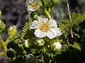 Chamaebatiaria millefolium (4344868313).jpg