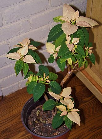 Poinsettia - A poinsettia that was stressed and reflowered after growing in bonsai form