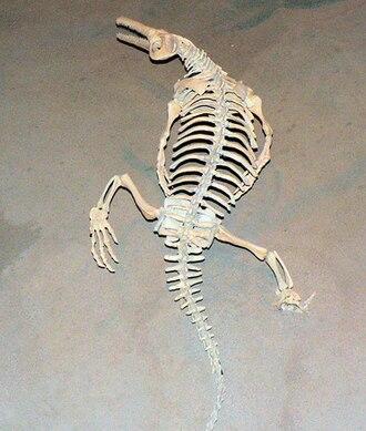 Choristodera - Champsosaurus fossil at the Royal Tyrrell Museum.