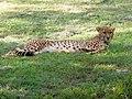 Cheetah Kenya IMG 3653.jpg