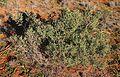Chenopodium eremea habit.jpg