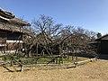Cherry Tree in garden of Former Residence of Nabeshima Family in Kojirokuji Area.jpg