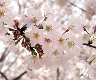 Shades of pink - Cherry blossoms
