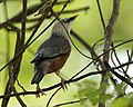 Chestnut-tailed Starling (Sturnus malabaricus) - Flickr - Lip Kee.jpg