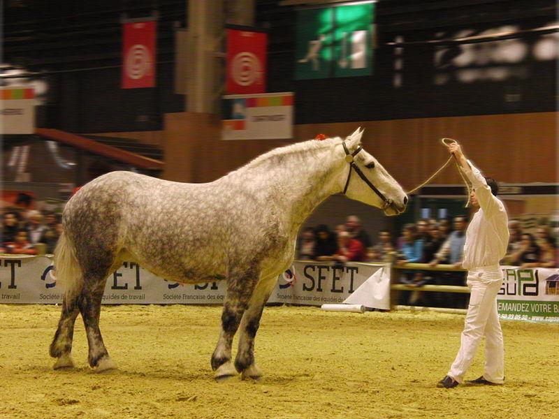 percheron horse breed