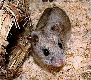 Chinese hamster species of mammal