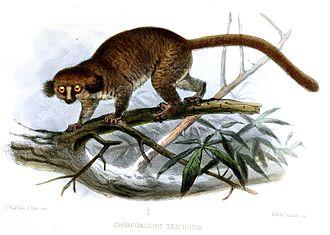 Hairy-eared dwarf lemur - Image: Chirogaleus Trichotis Wolf