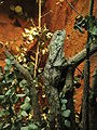 Chlamydosaurus kingii2.jpg