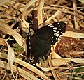 Chlosyne h. hippodrome. Simple Checkerspot (42113489654).jpg