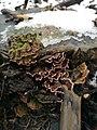 Chondrostereum purpureum 60702863.jpg