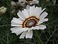 Chrysanthemum from Lalbagh flower show Aug 2013 8321.JPG