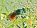 Chrysididae indet. (Chrysididae) (Jewel wasp) - (imago), Elst (Gld), the Netherlands.jpg