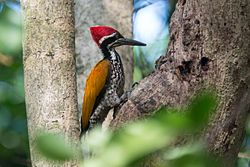 Chrysocolaptes guttacristatus, Greater flameback (male) - Kaeng Krachan National Park (23659338900).jpg