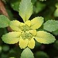 Chrysosplenium nagasei (flower s7).jpg