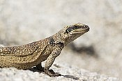 Chuckwalla (Sauromalus ater) at White Tank Campground (21867603086).jpg