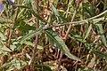 Cichorium intybus-Chicorée sauvage-20160708 M4.jpg