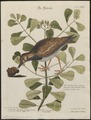 Cinclus interpres - 1700-1880 - Print - Iconographia Zoologica - Special Collections University of Amsterdam - UBA01 IZ17300037.tif