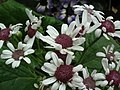 Cineraria from Lalbagh flower show Aug 2013 8217.JPG