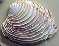 Circomphalus foliaceolamellosus (scaly-ridged venus clam) 3.jpg