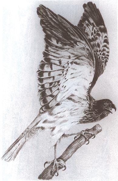File:Circus maillardi male lithograph.jpg