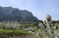 Cirerers amb el castell d'Alcalà al fons, la vall de Gallinera.JPG