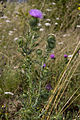 Cirsium vulgare vallee-de-grace-amiens 80 21072007 2.jpg