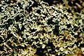 Cladonia caespiticia-2.jpg