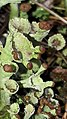 Cladonia fimbriata 81618428.jpg