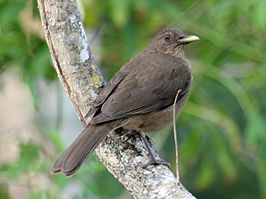 Clay-colored Thrush RWD4.jpg