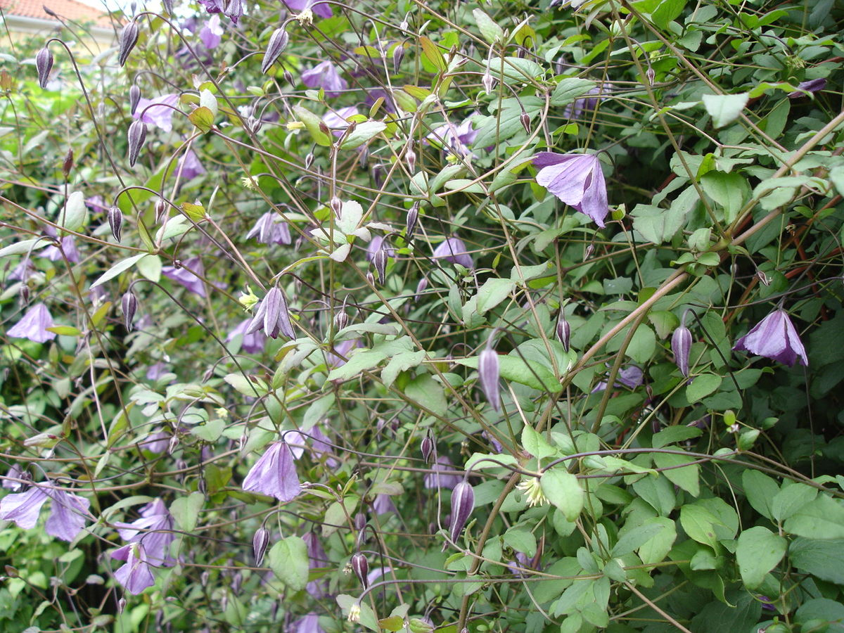 clematis viticella wikipedia. Black Bedroom Furniture Sets. Home Design Ideas