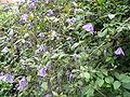 Clematis viticella3UME.jpg