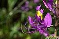 Cleome elegantissima-2492 - Flickr - Ragnhild & Neil Crawford.jpg