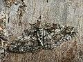Cleora cinctaria - Ringed carpet - Дымчатая пяденица весенняя (27051090678).jpg