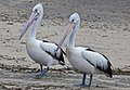 Clontarf Pelicans waiting for dinner-2 (4649611930).jpg
