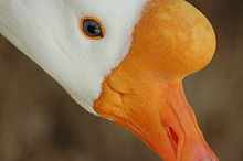Close Goose Portrait.jpg